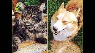 Кот МЕЙНКУН и собака КОРГИ. ПРОТИВОСТОЯНИЕ!
