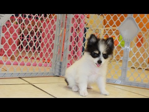Pomeranian Teacup Puppies For Sale Local Breeders