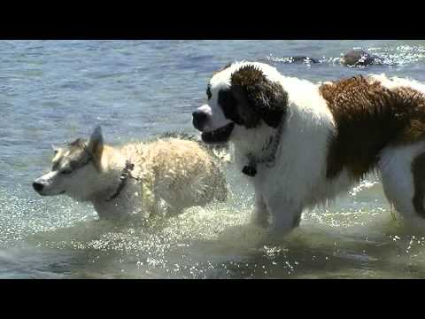 Siberian Husky and St. Bernard Swimming in Lake Huron