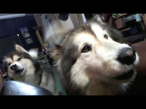 Alaskan Malamute Husky Not Happy With Crufts 2017