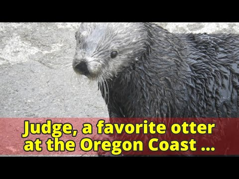 Judge, a favorite otter at the Oregon Coast Aquarium, dies