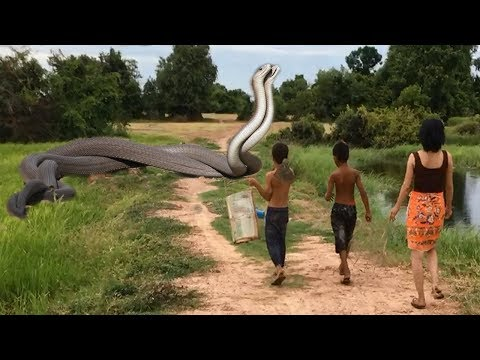 Thumbnail: Terrifying!! Beautiful Girl Catch Very Big Snake at Rice Field-How To Catch Very Big Snake By Hand