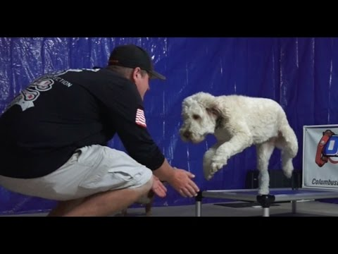 Dog Training: 18 Month Old Australian Labradoodle, Daisy! Before/After 2 Week Board and Train!