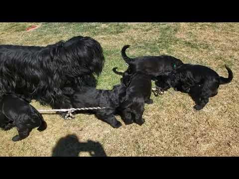 Briard puppies 6 weeks old