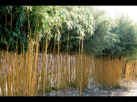 comment bien tailler les bambous pour obtenir un bosquet elegant et aere