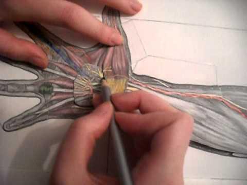 Región palmar de la mano. Práctica 12 Anatomía Humana I - YouTube