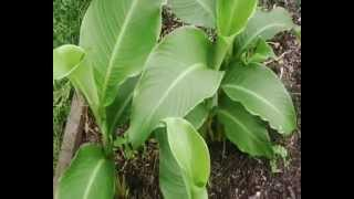 Queensland Arrowroot