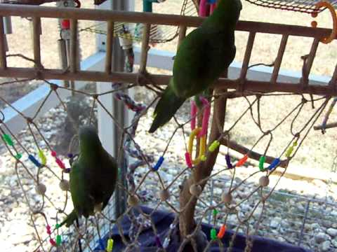 QUAKER PARROTS ENJOY THEIR HOMEMADE ROPE PLAY GYM