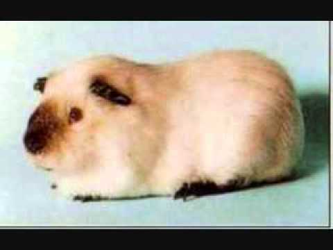 Types of guinea pigs youtube types of guinea pigs youtube sciox Gallery