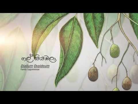Sri Lanka Telecom - Velvet Tamarind (Wild Fruits)