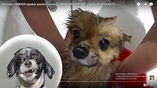 Купаем МИККИ щенка малого шпица (ИВАНГАЙ КУПИЛ такую же СОБАКУ)(Купаем МИККИ щенка малого шпица (ИВАНГАЙ КУПИЛ такую же СОБАКУ) Немецкий малый шпиц – самый маленький предс..., 2016-08-23T17:41:31.000Z)