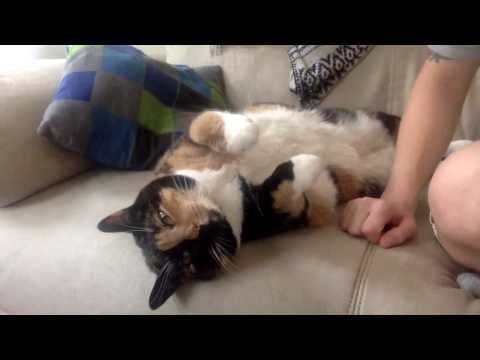 Calico Cat Review