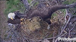 SWFL Eagles ~ E9 Bites Mom Foot; Grabs Fish From Dad 2.23.17