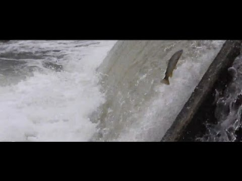 Fish Jumping Up Stream Belle Fourche SD Red Water Falls