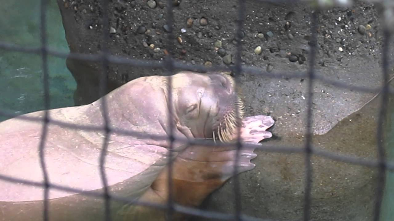 Joan the Walrus Taking a Snooze - Point Defiance Zoo and Aquarium
