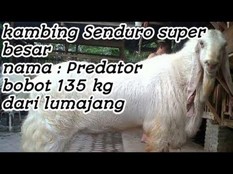 Kambing Senduro Bobot 135 kg, lombang kambing di batu, Malang