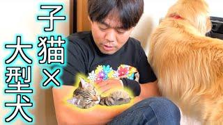 子猫と大型犬のいる暮らし【子猫のみーちゃんとレトリバーのまるくん】