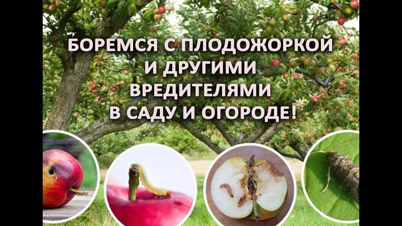 Боремся с плодожоркой и другими вредителями в саду и огороде!