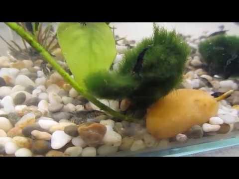 Shrimps neocaridinia carbon orange eyes