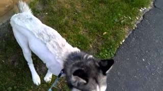 Siberian Husky Shaved Mohawk Haircut Summer 2012