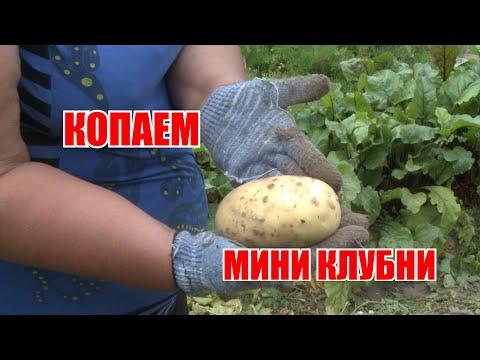 Сорта картофеля: Коломбо, Фонтана, Сильвана, Ароза