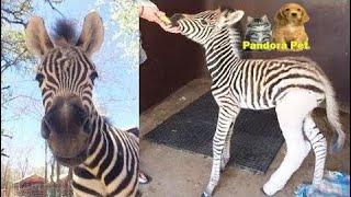 足をケガしたシマウマの赤ちゃんが保護された。 - Pandora Pet thumbnail
