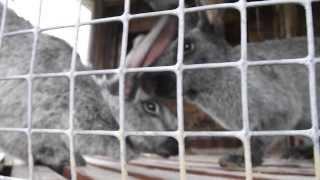 первый секс молодого кролика