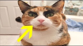 Calico Cat Unintentionally Judges Her Human Everyday With Her Epic Eyebrows