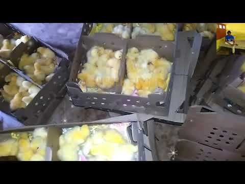 chick rate | poultry chick | poultry training |