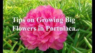 Amazing tips to get big size flowers in Portulaca Grandiflora - Moss Rose - Table Rose..