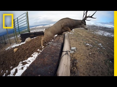 A Deer Migration You Have to See to Believe | National Geographic