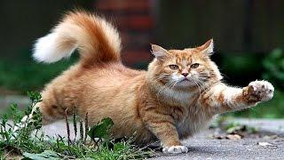 Ginger cat - Рыжая кошка