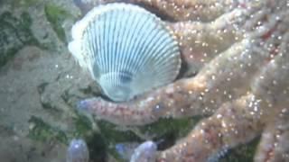 Clam vs Starfish