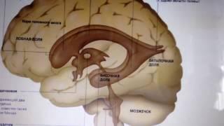 Желудочки головного мозга. Часть 1: боковые желудочки (начало).