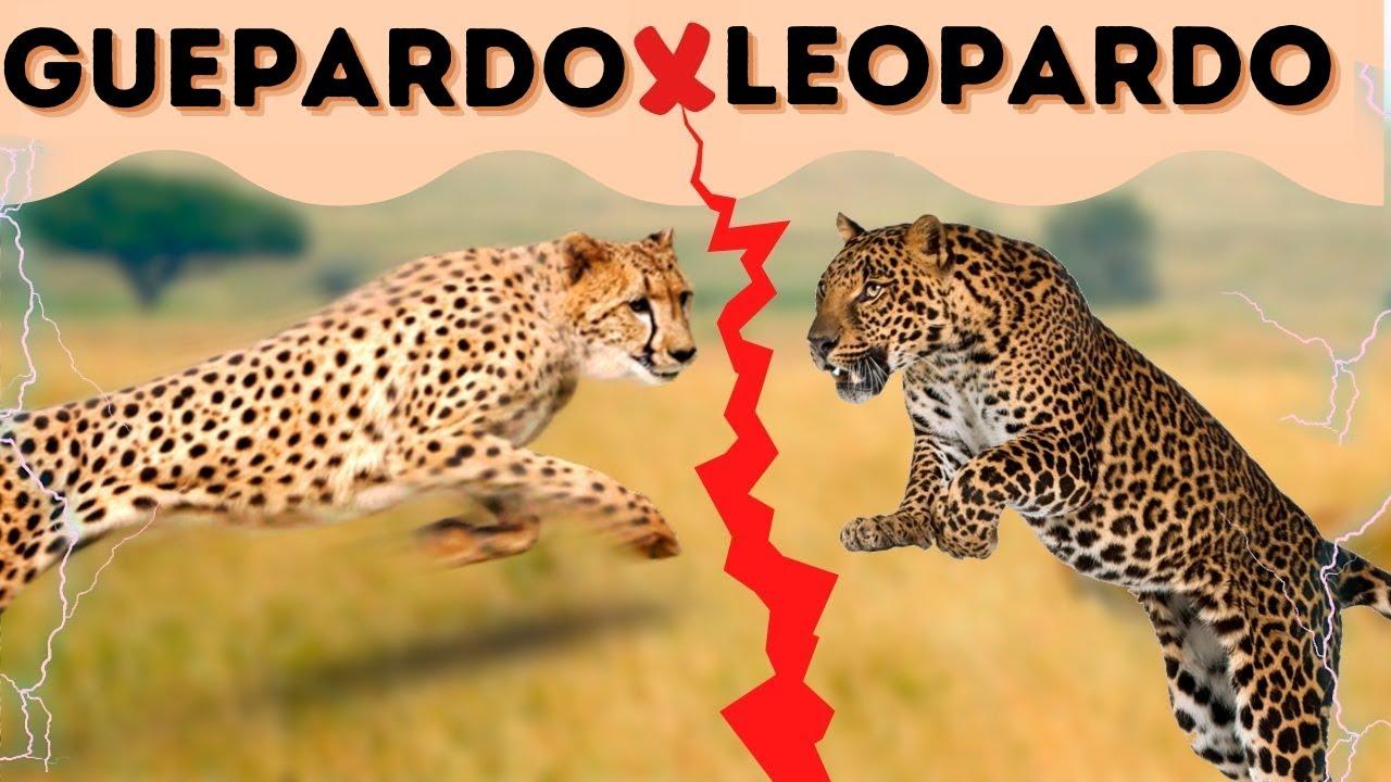Os Predadores Africanos - Leopardo & Guepardo