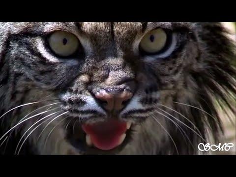 Iberian Lynx | Tribute