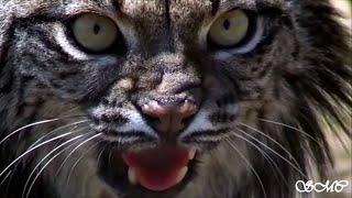 Iberian Lynx - Tribute