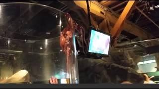 Octopus tries to escape tank at Seattle Aquarium [Original]