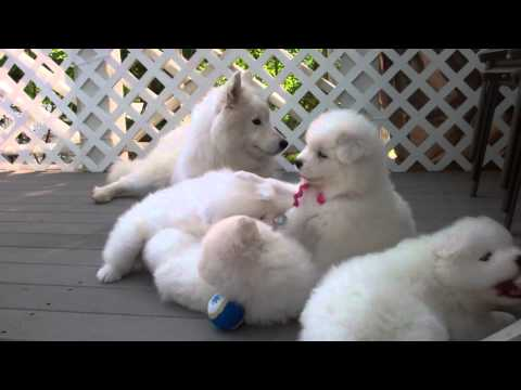 Samoyed puppies (37 Days old) - 'manners'