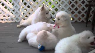 "Samoyed Puppies (37 Days Old) - ""manners"""