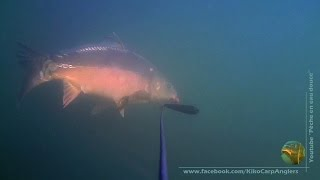 Carps have tested my bait several times before the go ! Nice underwater footage with Waterwolf HD Cam. No Kill of course :) All our vids following links bellow ...
