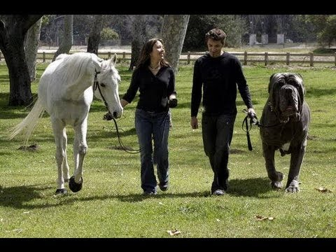 The World's Biggest Dogs the Size of a Horse