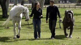 Repeat youtube video The World's Biggest Dogs the Size of a Horse