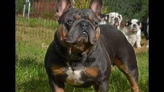 "Cute French Bulldog ""shrinkabull Blue Moon"""