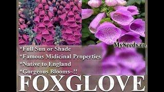 PURPLE FOXGLOVE Flower Seeds - Digitalis Purpurea Seed  FOXGLOVES  FLOWER SEEDS on  www.MySeeds.Co