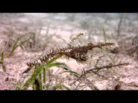 Ornamental - featuring Ornate Ghost Pipefishes