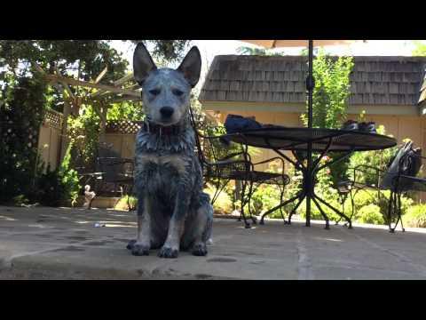 Queensland Heeler Music video