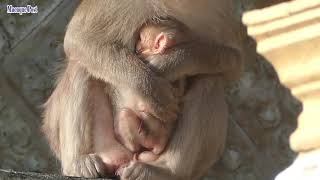 Just born pigtail baby monkey  Mom look so careless with newborn