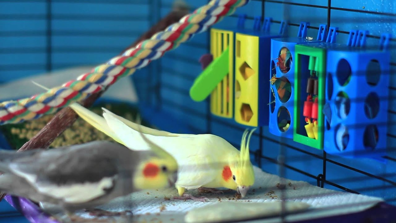 Image of: Cats How To Make Your Cockatiel Happy Bird Care Training Live Science How To Make Your Cockatiel Happy Bird Care Training Youtube