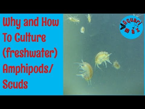 How To Culture Freshwater Amphipods/Scuds